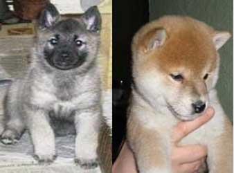 STELDAWN  Norwegian Elkhounds & Japanese Shiba Inci